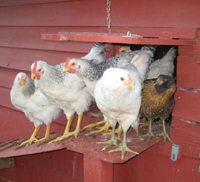 Good Mornin' Chickens!