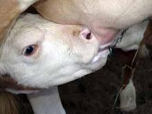 El ternero nunca llega a probar la leche de su madre