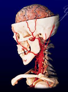external image skull_brain.jpg