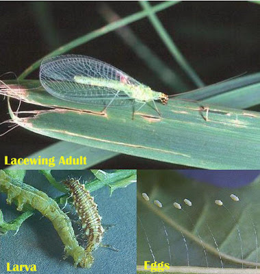 Lacewing adult, larva, egg
