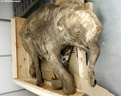 10000 year-old siberia baby mammoth