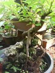 Ficus Glomerata (Loa Style on rock)