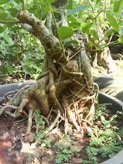 Ficus Glauca (Bunut Putih)