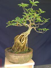 Ficus Glauca -Sekijoju