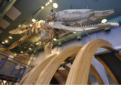 London's Moby Dick: pictures of 200 year old whale skeleton hit the web
