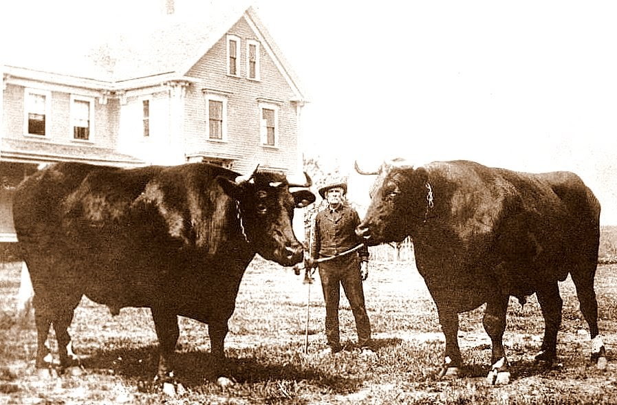 Storybrookeripples  Ox And Dog Blog  Worlds Largest Oxen