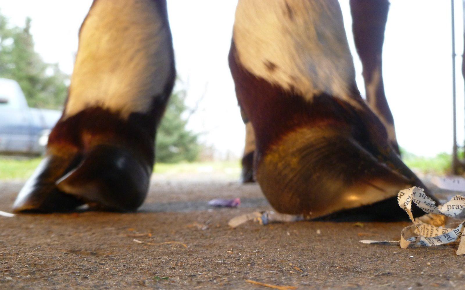 ox hoof