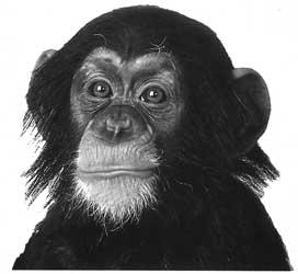 Chimp Thinks