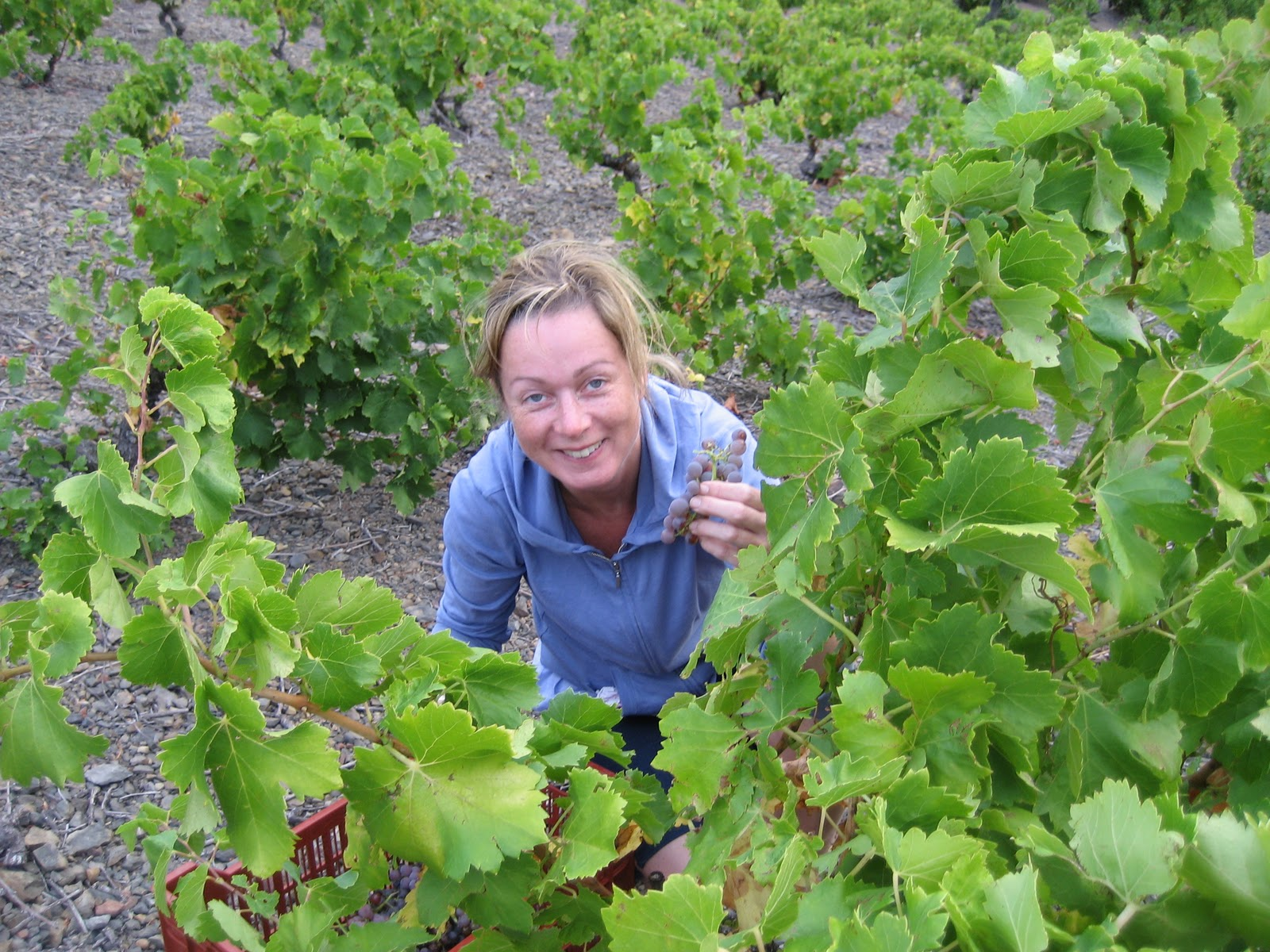 harvesting grenache gris at <a href=