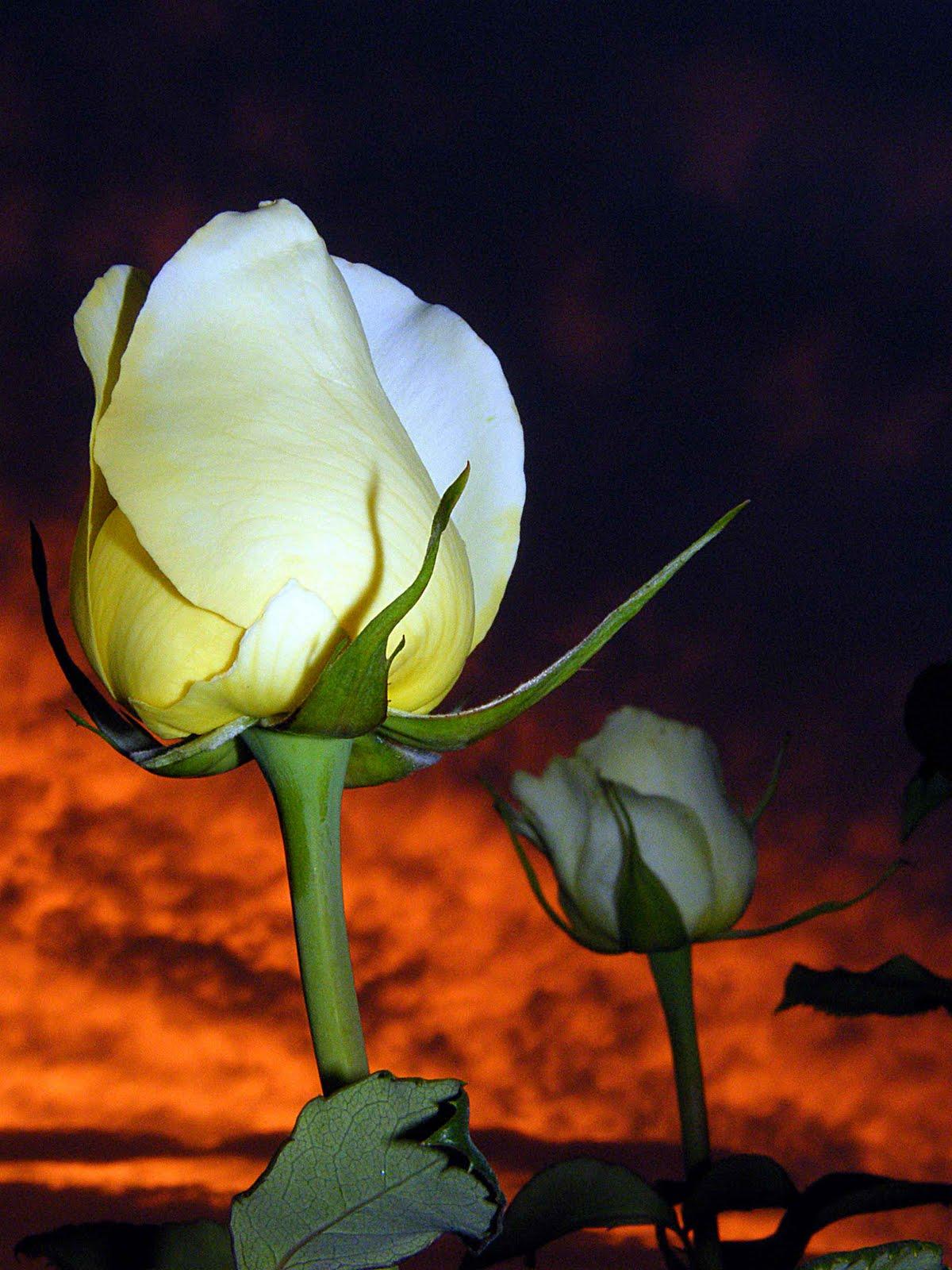 Tajanstvenim stazama duse... - Page 3 YC+Sunset+Rose+buds