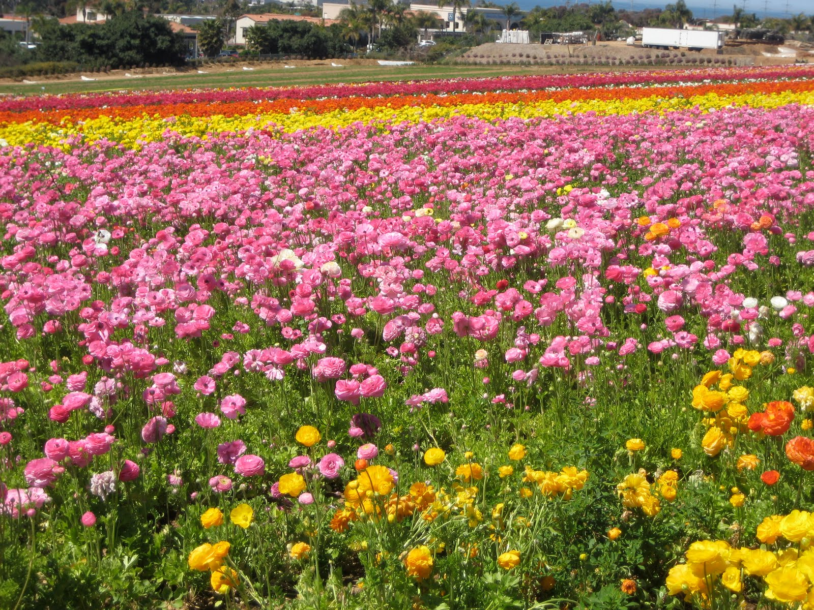 buds floral design carlsbad flower fields. Black Bedroom Furniture Sets. Home Design Ideas