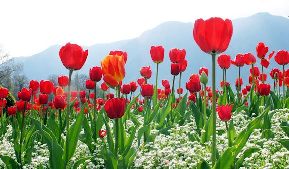 Pictures of tulips for mothers day (33 photos)