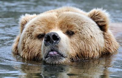 ></a><br>Usted sólo ha visto hasta aquí 15 fotografías sobre nuestra serie 'Animales en las noticias (40 fotografías by The Big Picture)'. Si desea ver todas las imágenes y leer la información completa (en Inglés), <a href=