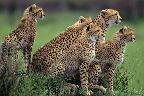 La chita y su familia (The Cheetah and her family)