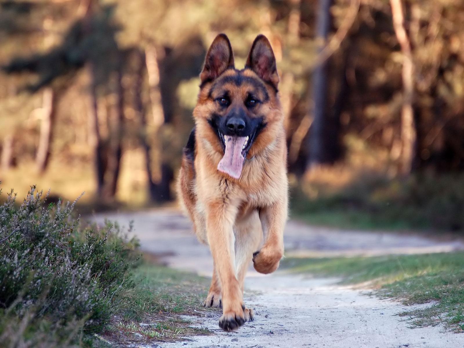 Dog Pastor German