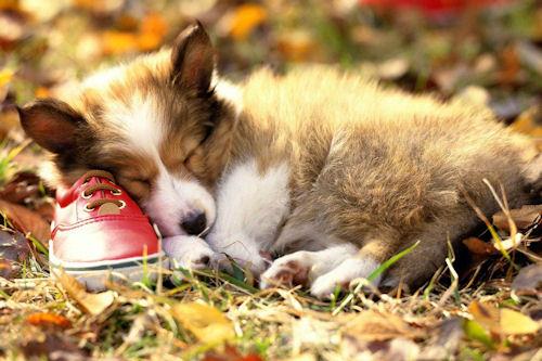 Tierno perrito durmiendo sobre un zapato