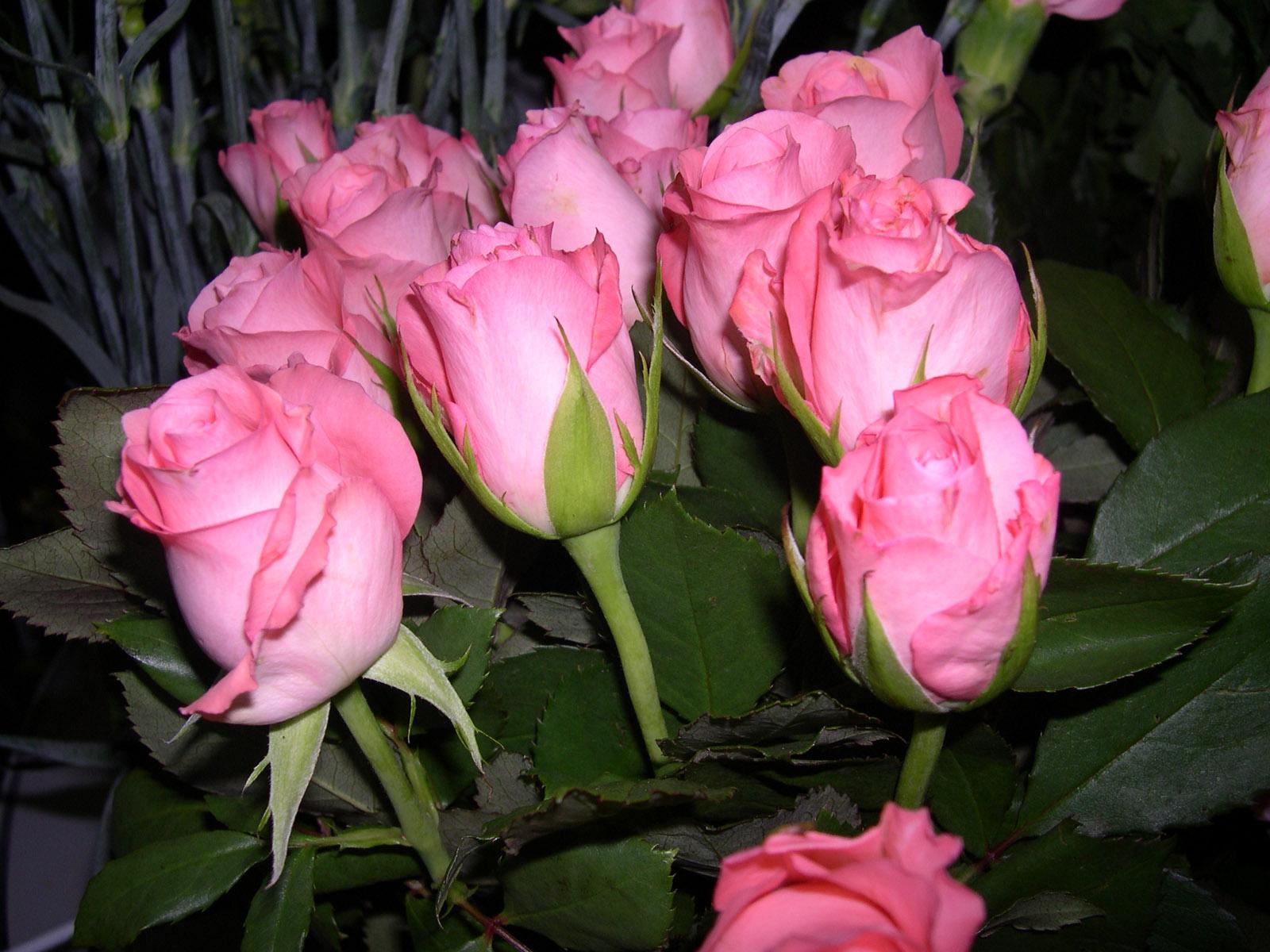Banco de im genes rosas de colores parte v 7 fotos - Fotos de rosas de colores ...