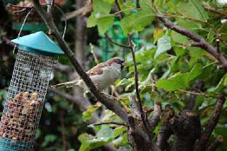a sparrow in a bush with a bird feeder