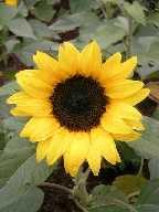 a sun flower