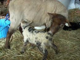 Sophie's lamb