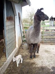 Last BFL Lamb......I hope