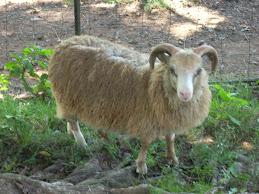 Repeat  Shetland ram lamb
