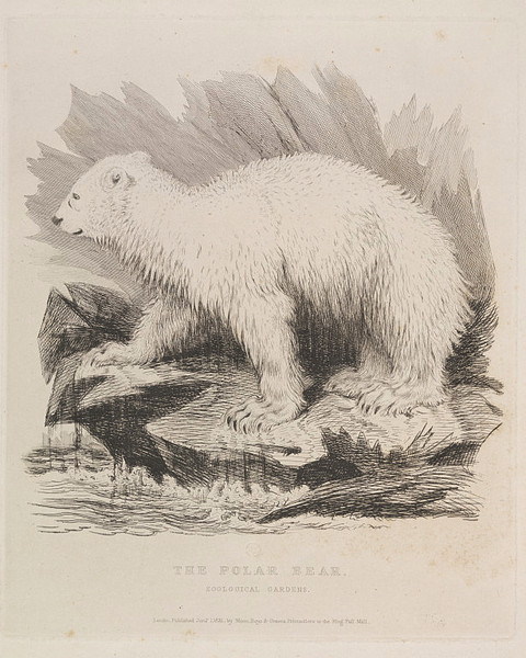 The Polar Bear. Zoological Gardens, 1831