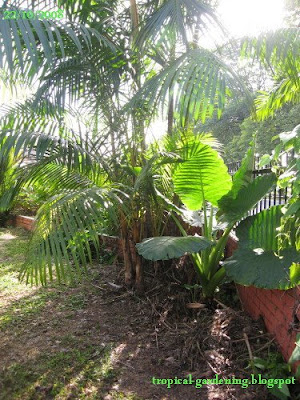 elephant's ear and palm tree