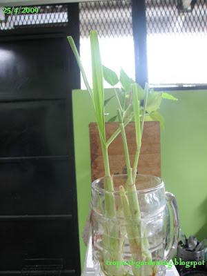 organic lemongrass stalks