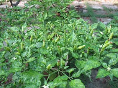 ripening organic chilies plant