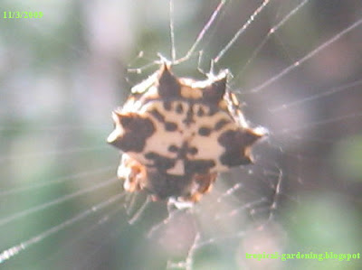 spider close up in Malaysia
