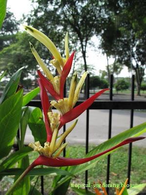 heliconia birds of paradise malaysia