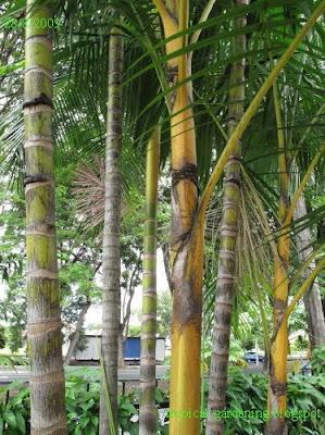 identify yellow palm malaysia