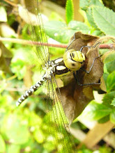 yellow headed dragonfly