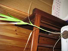 arundia graminifolia ou orchidée bambou