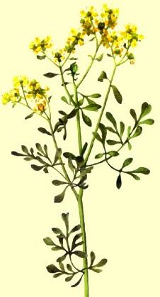 Plantas semillas esencias ruda - Como alejar la mala suerte en el amor ...