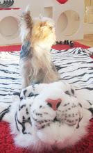 Stig har erövrat en tiger