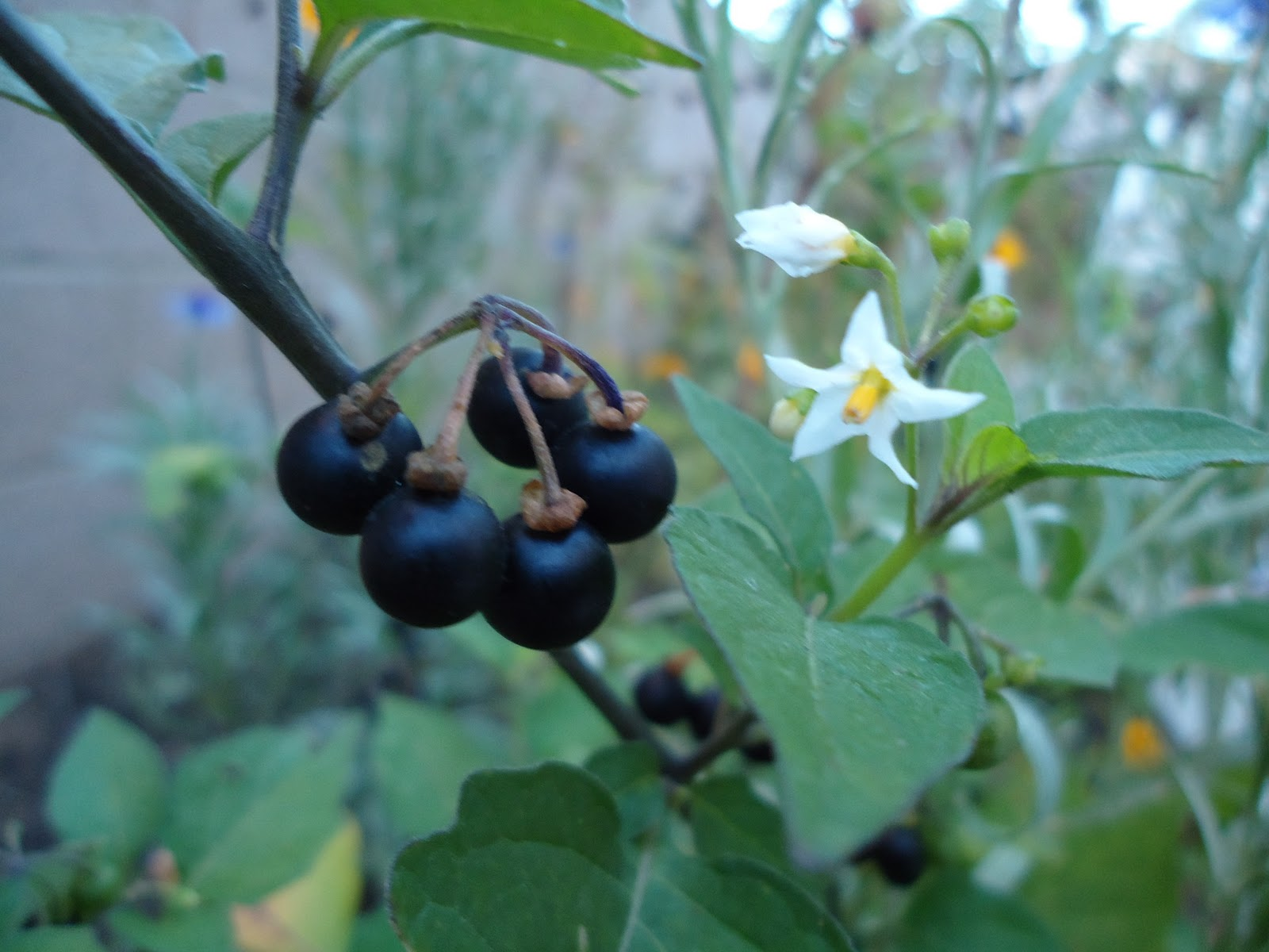 Sunberries Or Some Other Poisonous Nightshade Berries