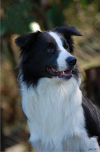 Ink (Border Collie) - 5 anos
