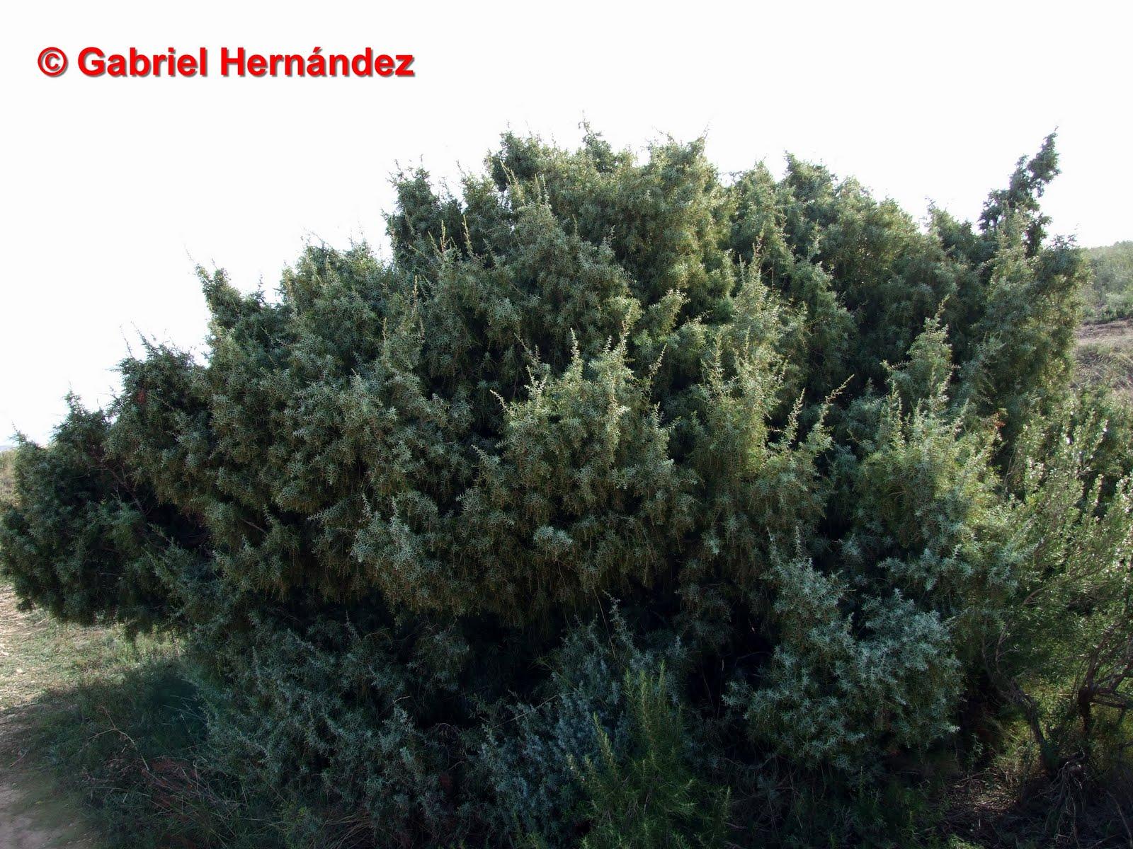 El rinc n del viejo forestal enebro de la miera for Arbol comun