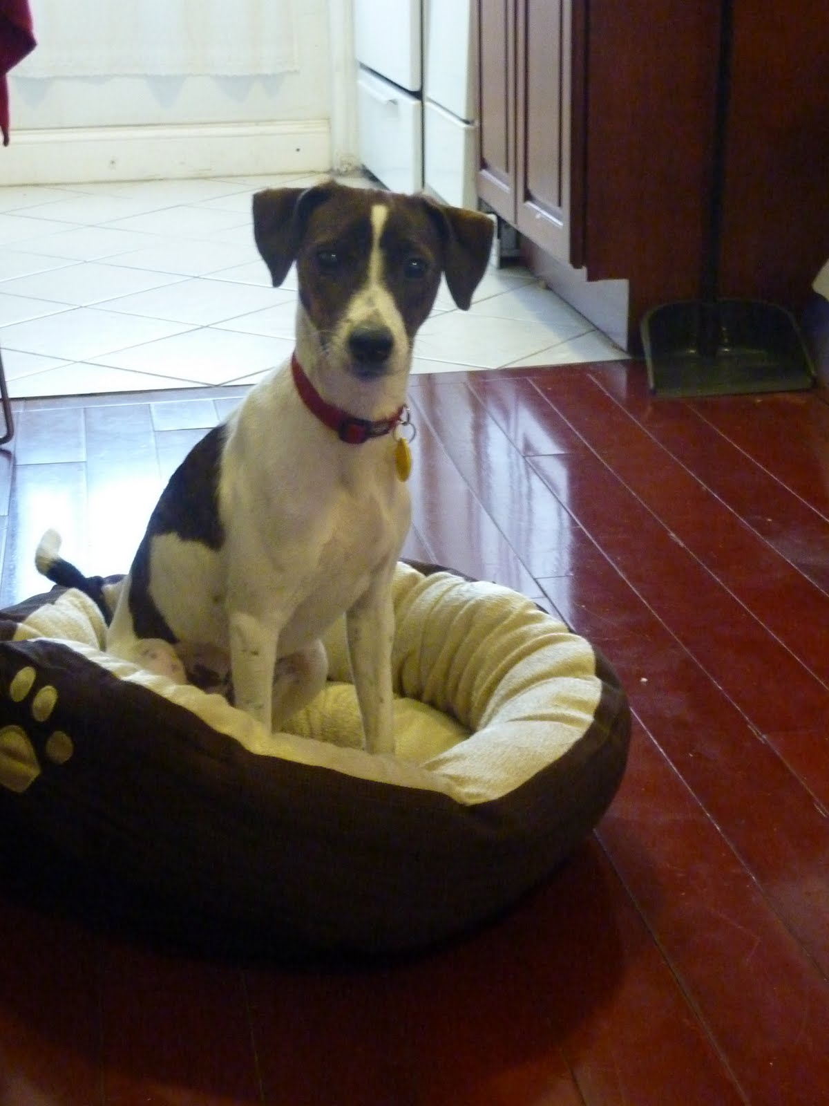 Look To Beauty: Busu, our whippet/jack russell terrier beauty