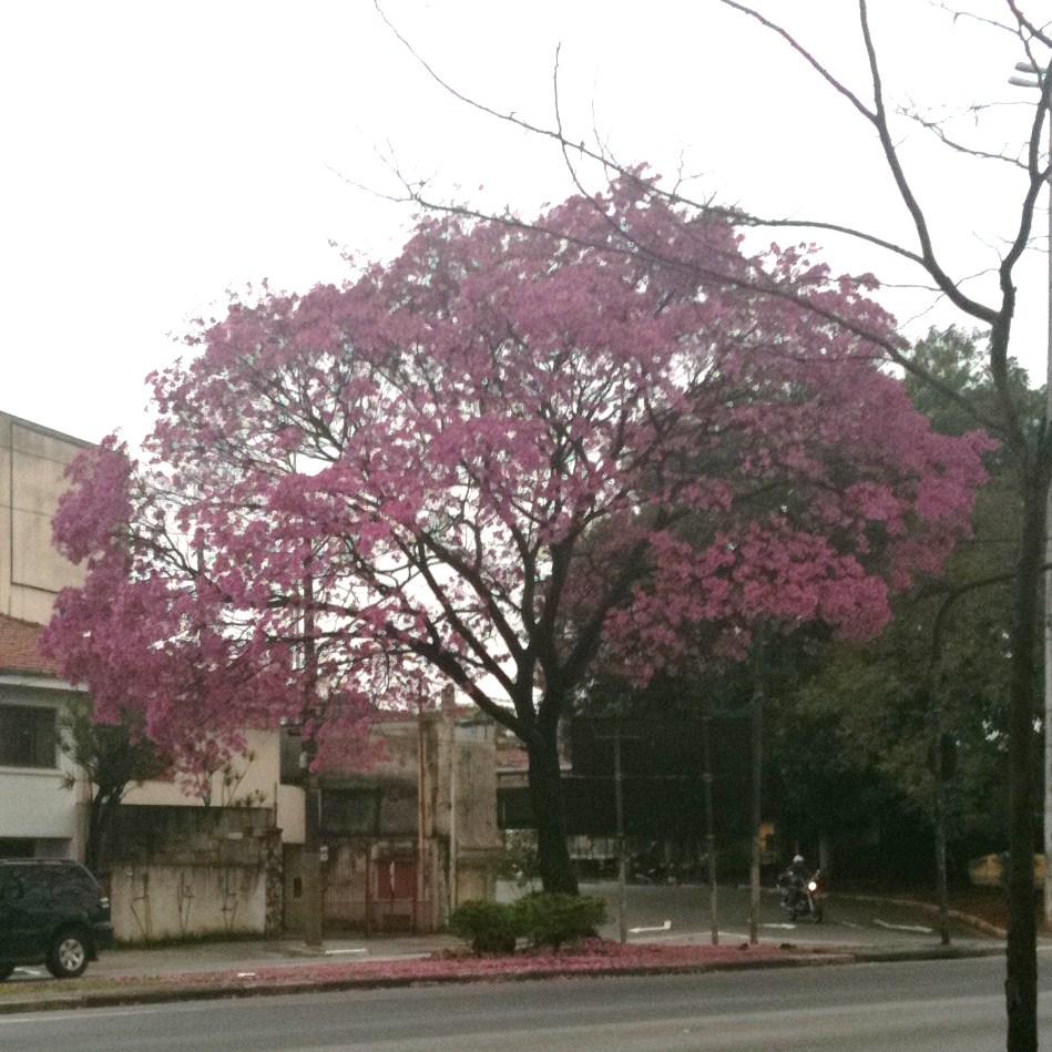 ipe de jardim arvore : ipe de jardim arvore:Verde Jardim: Ipê roxo