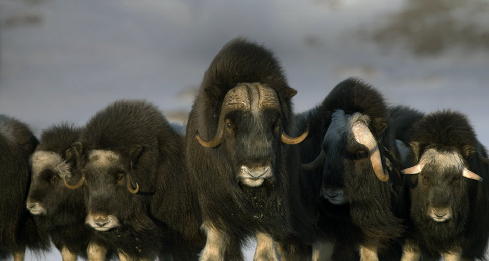 Mature & young Musk-ox bulls and cows in a defensive lineup during winter on ...