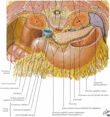 articulaciones viscerales