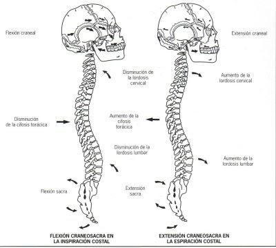 Movimiento de la Columna Vertebral durante la respiración diafragmática