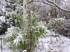 Bambu i snö