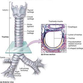 الرغامى Trachea