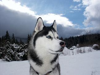Juego: adivina la raza Fotos-husky-siberiano