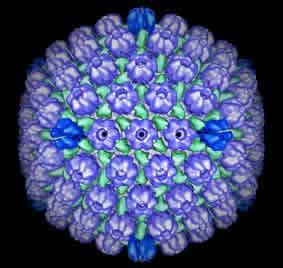 herpe virus: