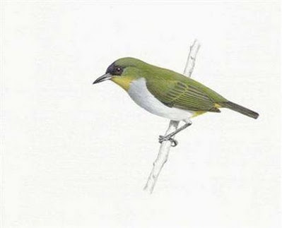 is the togian white eye we know the illustration shows no white eye ...